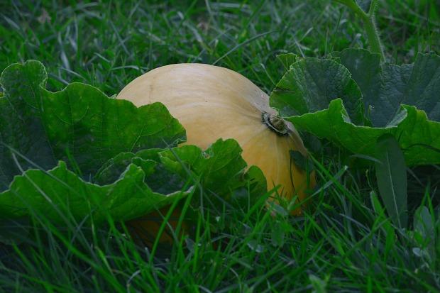 pumpkin-733605_1280