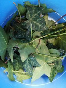 50 feuilles de lierre cueillies